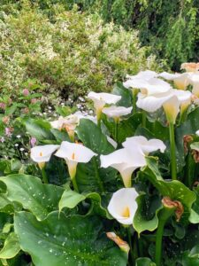 Here is a group of hardy and beautiful calla lily blooms, Zantedeschia aethiopica 'White Giant.' This three-foot-tall plant has large white flowers up to 10-inches long that surround a creamy yellow fingerlike center. These bloom from late spring to mid-summer.