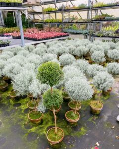 These are Santolina standards and one double myrtle in front. Santolina topiaries are aromatic, evergreen, and have silver-gray foliage.