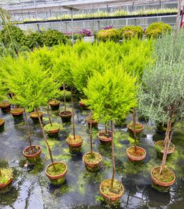 And here is a section of golden Italian cypress trained as standards.