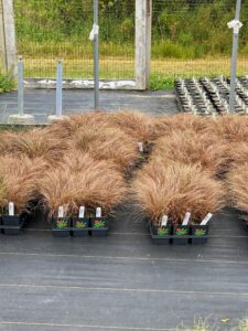 Carex 'Toffee Twist' is an evergreen to semi-evergreen sedge with interesting arching bronzy leaves and fine foliage.