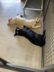 Here is a cute picture of Jackie and Silka sleeping on a hot afternoon. My dogs are typically tired by the end of the day because of all the exercise they get. I always enjoy watching my dogs nap after a fun morning of activities.