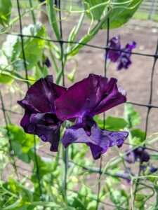 The sweet pea is a climbing annual member of the legume genus.