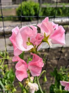 Here's a bright pink and white variety. Originating in the southwest of Italy and the islands of the Mediterranean, sweet pea has been cultivated for use in gardens since the 17th century.