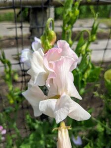 As annuals, sweet peas can be grown in all USDA hardiness zones, though they do best in climates with relatively cool summers. They thrive in full sun, although in warmer climates they do well in a location that receives partial sun, especially in the heat of the afternoon.