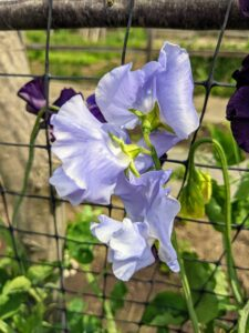 Here's another favorite - a light lavender sweet pea with ruffled edges.