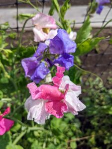 Most sweet pea varieties will begin blooming in late spring or early summer.