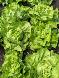 I love all the different lettuce varieties and always plant many for my family's delicious salads.