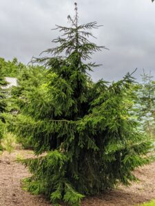 Picea orientalis is a medium to large tree that commonly grows up to 50 feet tall. It has a dense narrowly conical form, horizontal to upward sweeping branches, and drooping lateral branches.