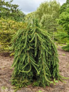 Picea abies 'Pendula' is used as a collective term that describes the myriad weeping and pendulous forms of Norway spruce. The Norway spruce or European spruce is a species of spruce native to Northern, Central, and Eastern Europe. Its uniquely trained form adds so much interest in this pinetum.