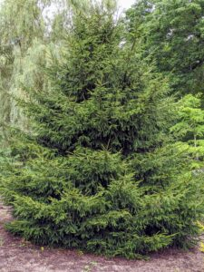 Here is another Picea orientalis. This tree is commonly known as the Oriental spruce or Caucasian spruce. It is a species native to the Caucasus and adjacent northeast Turkey.