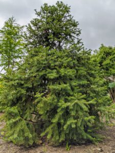 This Cunninghamia lanceolata or China fir is an evergreen conifer that is native to forested areas of China and Taiwan where it may reach 150-feet in height.