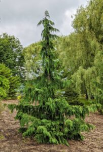 This tree is often seen at nurseries as Chamaecyparis nootkatensis 'Pendula'. At botanical gardens, it is also called Cupressus nootkatensis 'Pendula' or Callitropsis nootkatensis 'Pendula'. It is commonly known as a weeping Alaskan cedar, a slender, strongly weeping form that grows to as much as 35 feet tall. It has widely spaced ascending to horizontal branches with flattened sprays of blue-green leaves.