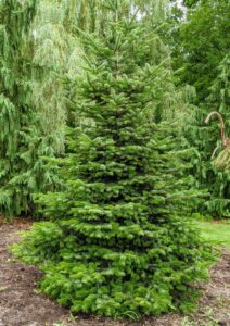 This is a fir. Firs, Abies, have needles that are softer, flatter, and cannot be easily rolled between the fingers. And fir needles are usually attached only on the upper side of the branch. They are most closely related to the genus Cedrus or cedar.