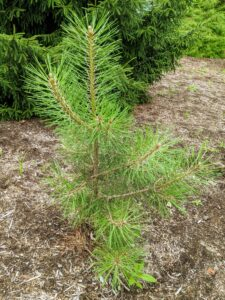Here is another small pine tree. Pines are conifer trees in the genus Pinus. There are at least 175 different varieties and subspecies of pines. Pines range from dwarf size to more than 265-feet tall. Pines have needles that are arranged and attached to the branches in clusters of two, three, or five.