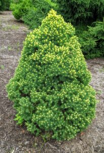 I also plant some dwarf specimens. This is a dwarf Alberta spruce with interesting yellowish new growth.