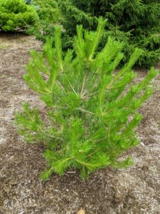 I try to add a few specimens to the pinetum every year. Many of the specimens I add are small, such as this pine, but this will grow quickly.