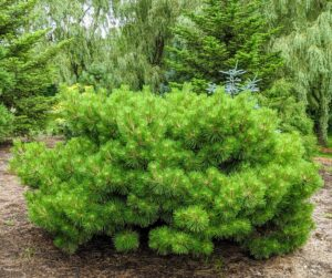 Pinus densiflora 'Jane Kluis' is a dwarf, globular form with a flat top. It typically grows to four feet tall and six feet wide over the first 10 years.