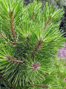 It has rigid green needles that radiate from around the stems. This cultivar was discovered in the mid-1970s by Rudolph Kluis of Marlboro, New Jersey.