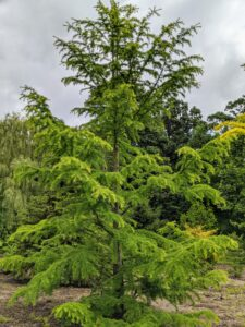 This is a Cedrus deodara 'Wells Golden' - an upright true cedar with rich, golden color, which is beautiful in winter. It can grow up to 30-feet tall.