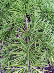 Cedrus evergreen needles are borne primarily in dense clusters that arise from stout, woody pegs.