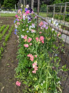 There are so many gorgeous blooms - it's the perfect time to pick these fragrant flowers. Sweet pea plants are annual climbers and need support to thrive. Most will grow to five or six feet tall.