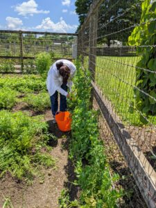 We planted many peas along the garden fence – shelling peas, which need to be removed from their pods before eating, and edible pods, which can be eaten whole, such as snap peas. Here's Elvira harvesting many peas.