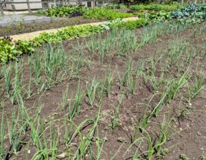 The onions look wonderful too. We planted a lot of white, yellow and red onions. Onions are harvested later in the summer when the underground bulbs are mature and flavorful. I always look forward to the onion harvest.