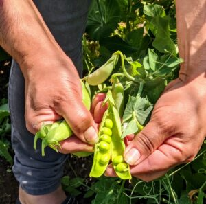 The pods can range in size from four to 15-centimeters long and about one-and-a-half to two-and-a-half centimeters wide. Each pod contains between two and 10-peas.