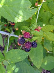 There are more than 200-species of raspberries. In the United States, about 90-percent of all raspberries sold come from the states of Washington, California, and Oregon.