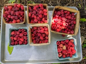 To save berries for use at another time, freeze them – lay them out onto flat trays in single layers and freeze until solid. Once they are frozen, they can be moved into plastic containers or freezer bags until ready to eat. What a wonderful summer it will be with all these delicious and nutritious fruits.