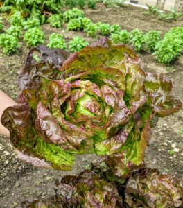 Enma picked this lettuce, Lactuca sativa. Lettuce is a fairly hardy, cool-weather vegetable that thrives when the average daily temperature is between 60 and 70-degrees Fahrenheit. Lettuces can generally be placed in one of four categories: looseleaf, butterhead, crisphead, and romaine.