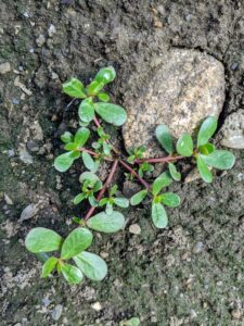 Another weed that is easy to pull, but tough to keep out of the garden is common purslane, Portulaca oleracea. Purslane is a succulent plant that will grow outward in a circle shape close to the ground. The fleshy red stems will have small green paddle-shaped fleshy leaves. Purslane flowers are star-shaped and yellow in appearance. Purslane can be found in clear uncultivated or recently cultivated soil.