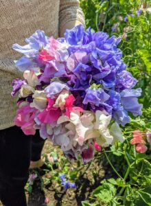 Sweet peas grow in a wide variety of colors including pink, blue, white, and lavender.