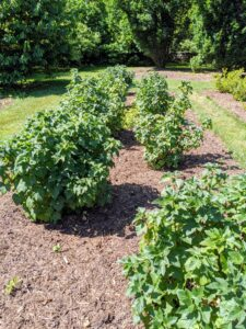 Currants grow best in full sun to partial shade.