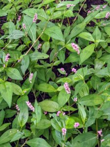 Smartweed, Polygonum, is an annual broadleaf. This wild grain is an important food source for wildlife, but it becomes a noxious weed when it gets into garden plots and lawns.