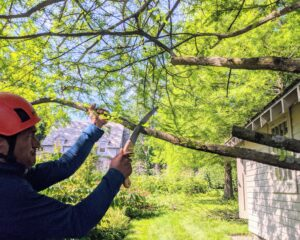 Pasang starts by cutting the most obvious low growing branches and checks for dead, broken, and diseased branches that also need to be removed. This can be done at any time of year.