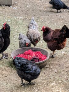 Earlier in the day, we gave my chickens a treat of frozen berries from years past. They loved them and devoured every bowl full.