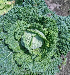This Savoy is also so beautiful, but still a bit small and not quite ready for picking. To get the best health benefits from cabbage, it's good to include all three varieties into the diet – Savoy, red, and green.