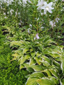 The hostas around and in between the lilies are also looking fuller this year. Hosta is a genus of plants commonly known as hostas, plantain lilies, and occasionally by the Japanese name giboshi. Hostas are widely cultivated as shade-tolerant foliage plants.