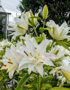 Lilium is a genus of herbaceous flowering plants growing from bulbs, all with prominent flowers.