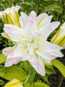 Here is a double flower form lily that is more than six inches across.
