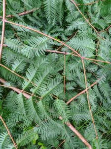 The dawn redwood has feathery, fine-textured needles that are opposite each other and approximately a half-inch long. Don't confuse them with the bald cypress needles, which grow alternately. These dawn redwood needles will turn shades of red and brown before falling – it is one of the few deciduous conifers.