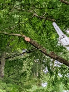 Cutting in sections also prevents splitting and allows the large portion of the branch to fall and not tear into or damage the tree.