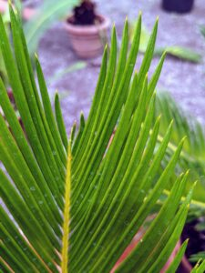 The sago palm may look like a tiny palm tree with its glossy, stiff fronds, but it is not a palm tree at all. Sago palms are cycads, one of the most ancient plants that have been around since prehistoric times.
