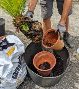 "The plant is then carefully removed from the smaller container. The larger vessel in the trug bucket will be its new home. It is just one size larger. Cycads like ""deep pots,"" so take depth over diameter when selecting a container size for a sago palm."