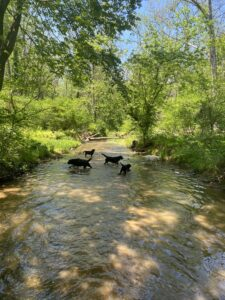 Here is part of the pack sloshing around in the creek that backs our property. My dogs love swimming. I try to take them all for a swim once a day in the early morning before it gets too hot. In the evenings, I walk the pack around the farm on 17 acres of fenced paddocks so they can run, retrieve balls, and visit with some of the other farm animals. During this very difficult time of COVID, I am finding great pleasure in spending more time around my dogs. All the exercise really shows a big difference in their condition and temperaments. They are happier and better prepared for the show ring.