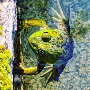 We saw many frogs in the Abby Aldrich Rockefeller Garden pool - they all seemed very curious about all the visitors.