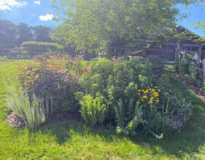 Here is one of my gardens on the hillside as you walk up to the barn and kennel. In this bed there are several different orienpet lily varieties, Russian sage, sedum, bee-balm (Monarda), lavender from Soleado Lavender Farm, 'Midnight Marvel' hardy hibiscus, and some black-eyed-Susans.