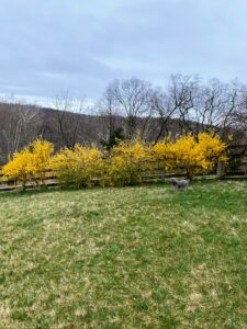Here is another indicator that spring is on its way: the yellow forsythia row planted in, what will next year be, the area that houses our vegetable gardens. In this picture, Cobalt stands looking over the fields.