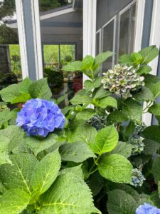 These beautiful hydrangeas are 'Endless Summer.' Naturally, they would be pink, however, hydrangea blooms change colors when soil acidity changes. Every fall, I add a supplement to the soil that makes the soil acidic (a pH below 7) that ensures my hydrangeas will be blue each summer.